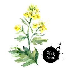 Watercolor hand drawn wild mustard flower vector