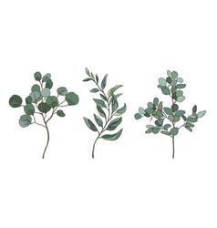 Eucalyptus silver dollar vector