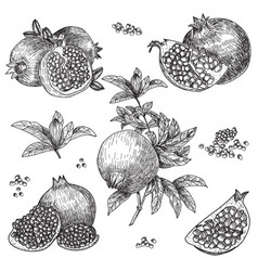 hand drawn sketch style pomegranates set vector image
