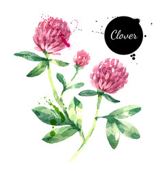 Hand drawn watercolor red clover flower painted vector