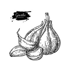 garlic hand drawn isolated vector image