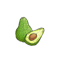 Green avocado drawing isolated on white background vector