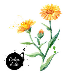 hand drawn watercolor calendula flower painted vector image