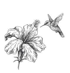 flying humming bird near hibiscus sketch vector image