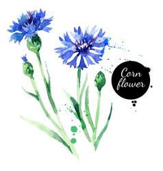 Hand drawn watercolor cornflower painted sketch vector
