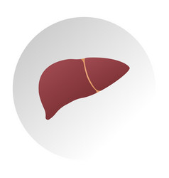 Human liver anatomy medical science vector