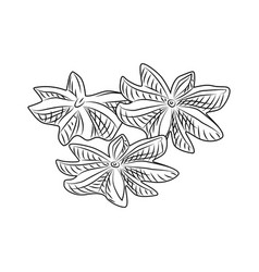 Hand drawn dry anise isolated on white background vector