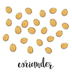 Coriander isolated object sketch spice for food vector