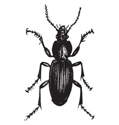 Dorsal view of ground beetle vintage vector