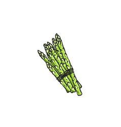 green asparagus stalk bunch tied together with vector image