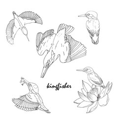 Kingfisher bird in different poses black and vector