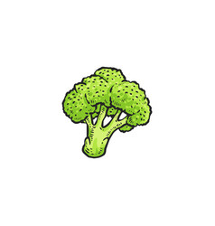 Green broccoli drawing isolated on white vector