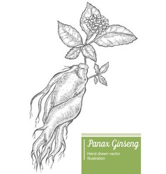 Panax Ginseng Root Plant vector image