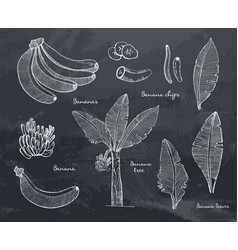 banana line sketch set with leaves vector image