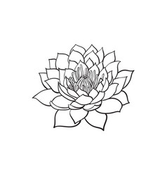 Sketch lotus flower blossom blooming vector