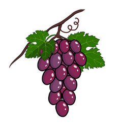 bapurple grapes - bunch purple vector image