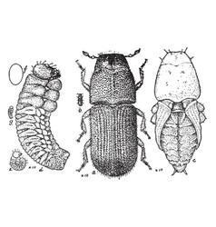 Pine beetle stages vintage vector