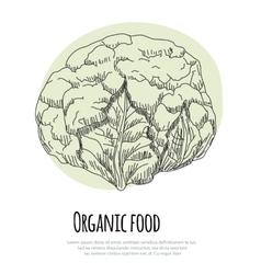 Hand drawn cauliflower over white background vector image