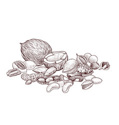 drawing nuts vector image