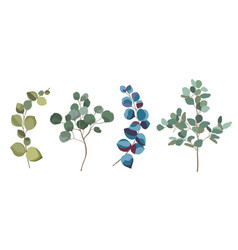 Eucalyptus branches collection vector