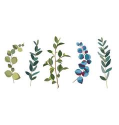 eucalyptus branches vector image