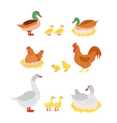 Set of poultry hen cock vector