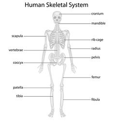 transparent human anatomy vector images over 790 transparent human anatomy vector images