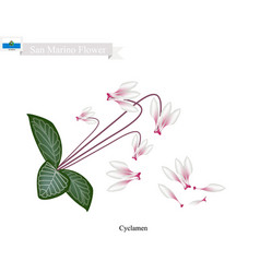 cyclamen cyprium the national flower of san marin vector image vector image