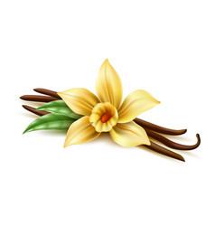 Realistic vanilla flower dry bean sticks vector