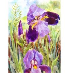 Watercolor purple irises beautiful watercolor vin vector