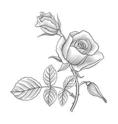 vintage drawing flower of rose vector image