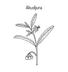 Australian desert raisin solanum centrale or vector
