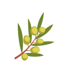 Olive tree branch on a white vector