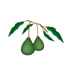 Two Fresh Green Avocados on A Branch vector image vector image