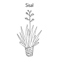 Sisal agave sisalana fiber plant vector