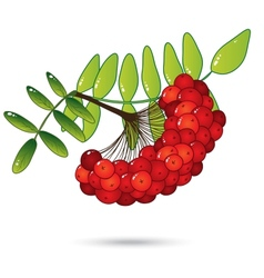 Bunch of red rowan berries with leaves isolated on vector image