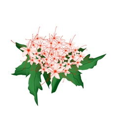 Clerodendrum Paniculatum Flowers or Pagoda Flowers vector
