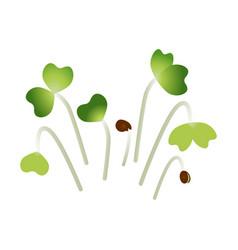 Microgreens pak choi bunch plants white vector