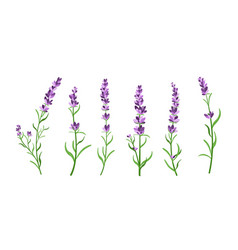 set of lavender flowers vector image