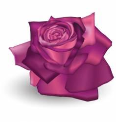 fuchsia rose vector image vector image