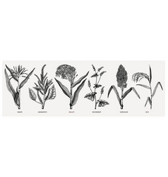 Hand drawn cereal crops set - maize millet vector