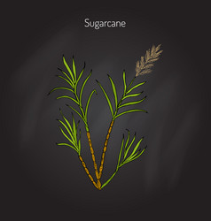 Sugarcane saccharum officinarum vector