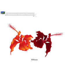 National flower of solomon the hibiscus flowers vector