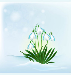 flowers snowdrops from the snow vector image vector image