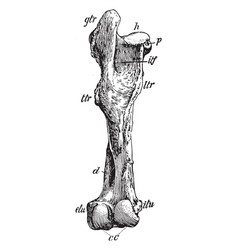 Posterior view of left femur of horse vintage vector