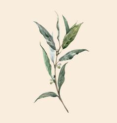watercolor laurel bay leaf vector image