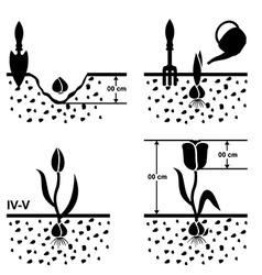 tulips grown vector image vector image