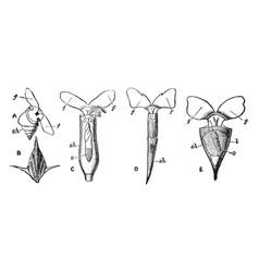 Pteropoda vintage vector