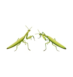 two praying mantis are fighting praying mantis vector image