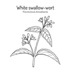 White swallow-wort vincetoxicum hirundinaria vector